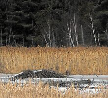 Beaver Dam in Winter by katpix