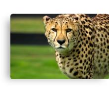 Cheetah - Face to Face - 9460 Views Canvas Print