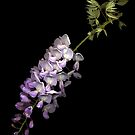 Wisteria by TheWalkerTouch
