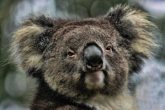 Koala by Lance Leopold