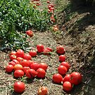 Tomatoes by Mark  Gilliland