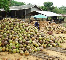 Coconut Harvest. South of  Prachaup Khiri Khan, Thailand by Peter Stephenson