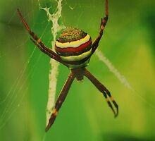 St. Andrews Cross Spider by CelebrateCreation Charity Photographic Exhibition