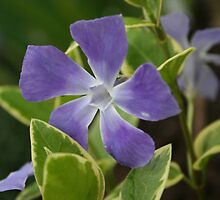 Blue Flower by Linda Jackson