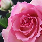 Pink Rose by Sandra Mangnall