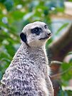 Meercat by Nigel Bangert