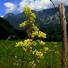 Goldenrod Is Beautiful by HelmD