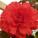 red tuberous begonia by redkitty