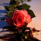 New Rose On A Bed off Old Petals by shakey123