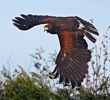 Hawk-in-a-Hurry by Krys Bailey