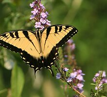 Eastern Tiger Swallowtail by Lisa G. Putman