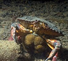 Momma Crab with Eggs by Greg Amptman
