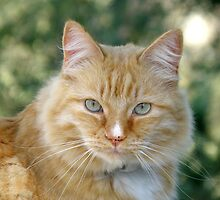 Orange Tabby Cat  by tcphoto