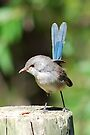 'Variegated Fairy-wren' by Ian Berry