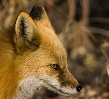 Fox Profile by Jay Ryser