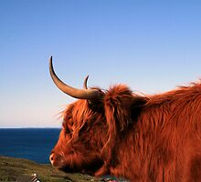 Highland Coo by Alexander Mcrobbie-Munro