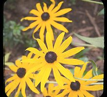 Black Eyed Susan by Patrick Hickey