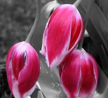 Drooping Tulips by KissTheFrogs