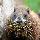 Nesting Marmot by Barbara Burkhardt