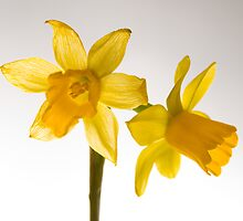 Daffodil Haiku by Nigel Bangert