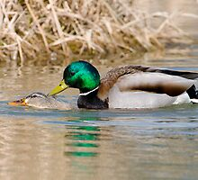 Mallard Ducks Mating by David Friederich