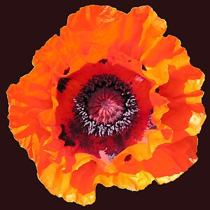 "Poppy (Papaver Orientale ""Allegro""), also available on a T-shirt."