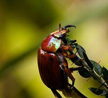 Christmas Beetle by Nemanja Jovanovic