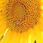 Sunflower with the bee by Margarita K