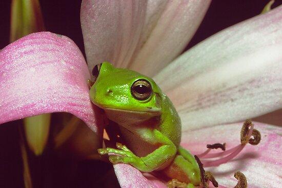Green Tree Frog by Andrew Trevor-Jones