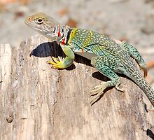 Collared Lizard, Arizona by Tamas Bakos