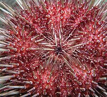 Sea urchin by Andrew Newton