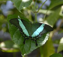 Green Butterfly  by David Lee Thompson