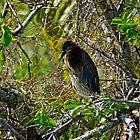 Little Green Heron - In the Everglades by Stephen Beattie