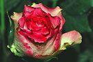 Just One Rose by LudaNayvelt