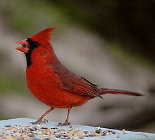 Cardinal red by triciamary