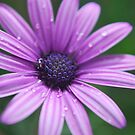 Osteospermum sp. by Julie Sherlock