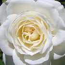 pure white rose by ashroc