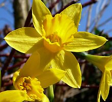 In the Jonquil Patch by Braedene