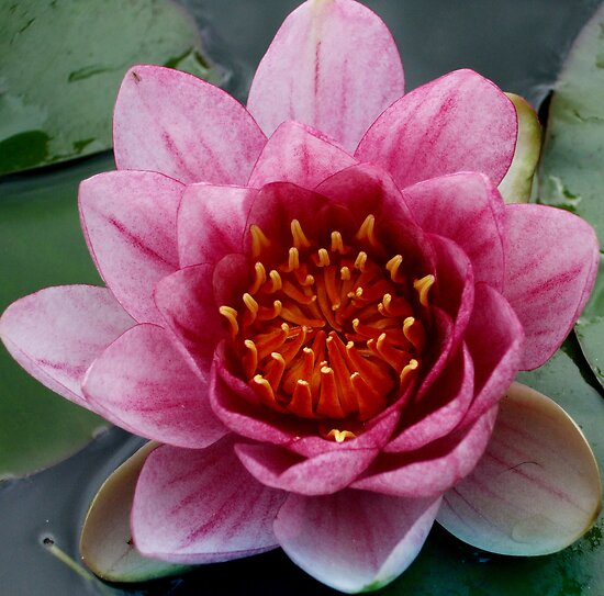 pond lily by Ann Persse