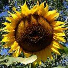 Sunflower by RuthBaker