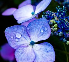 Hydrangea's Dew Drops by ZicklerPhoto