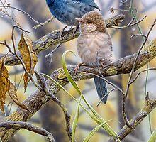 Australian Splendid-fairy Wrens by Christopher Pope