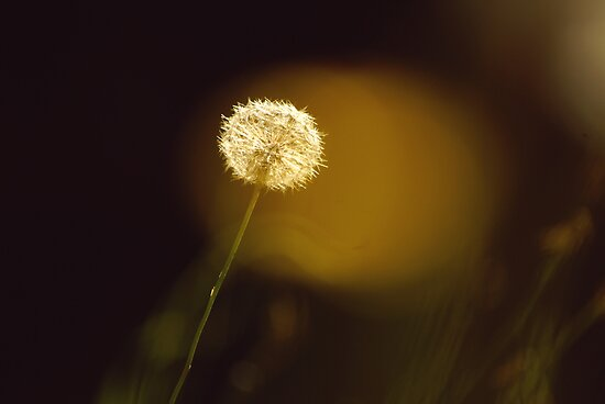 Dandy Dandelion by Simon Greening