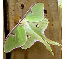 The Luna Moth Photographic Print