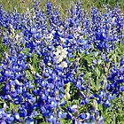 a field of Texas Blue Bonnets by ClintDMc
