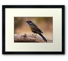 Common Grackle Framed Print