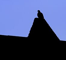Rooftop Pigeon at Dusk by Andrew Moughtin-Mumby