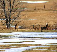 Deer In A Field by HALIFAXPHOTO