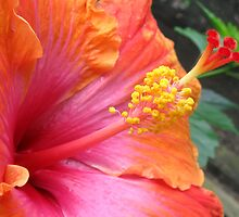 raspberry orange hibiscus by Marda Bebb