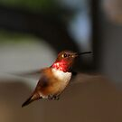 King Rufous of the Hummers by Chuck Gardner